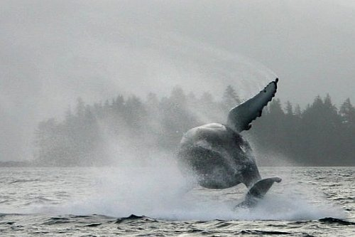 Humpback Breach - Photo Courtesy of Moresby Explorers