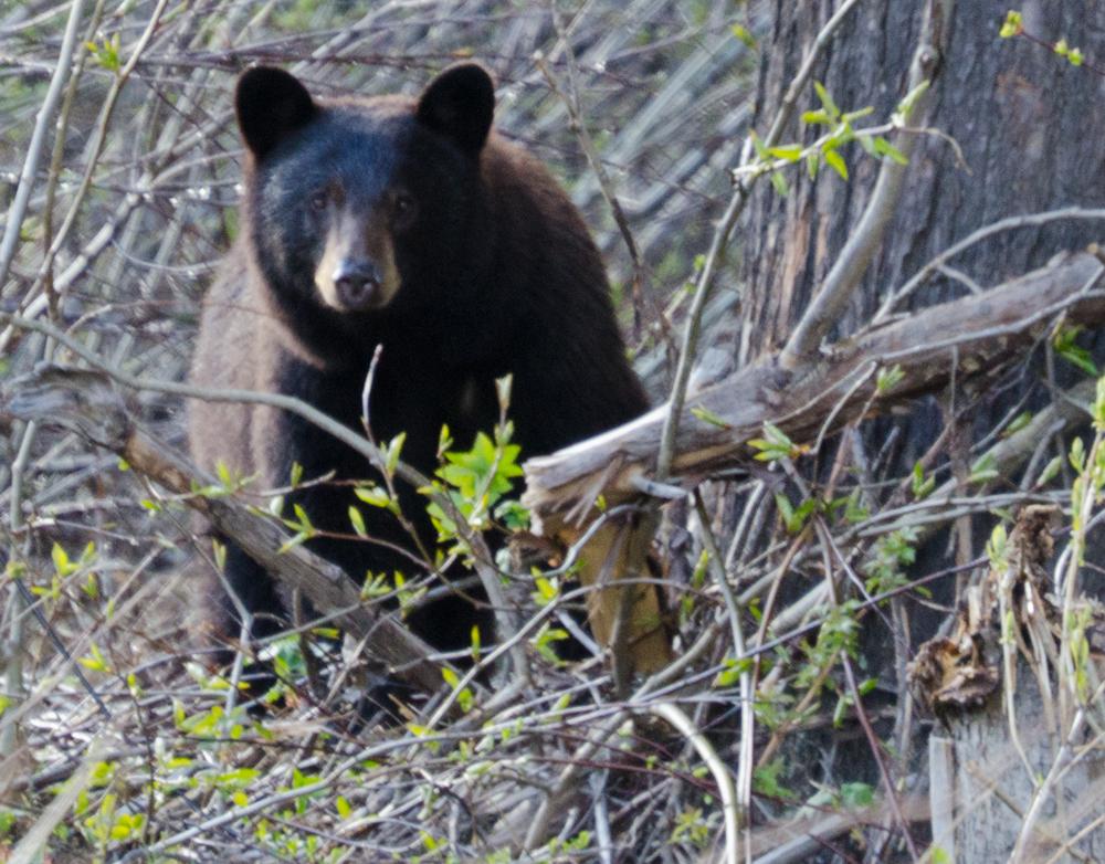 Black Bear ©2012 Janice Tanton