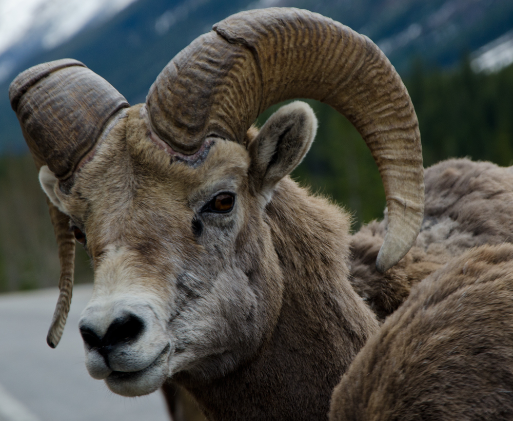 Big Horn Sheep on the Icefields Parkway