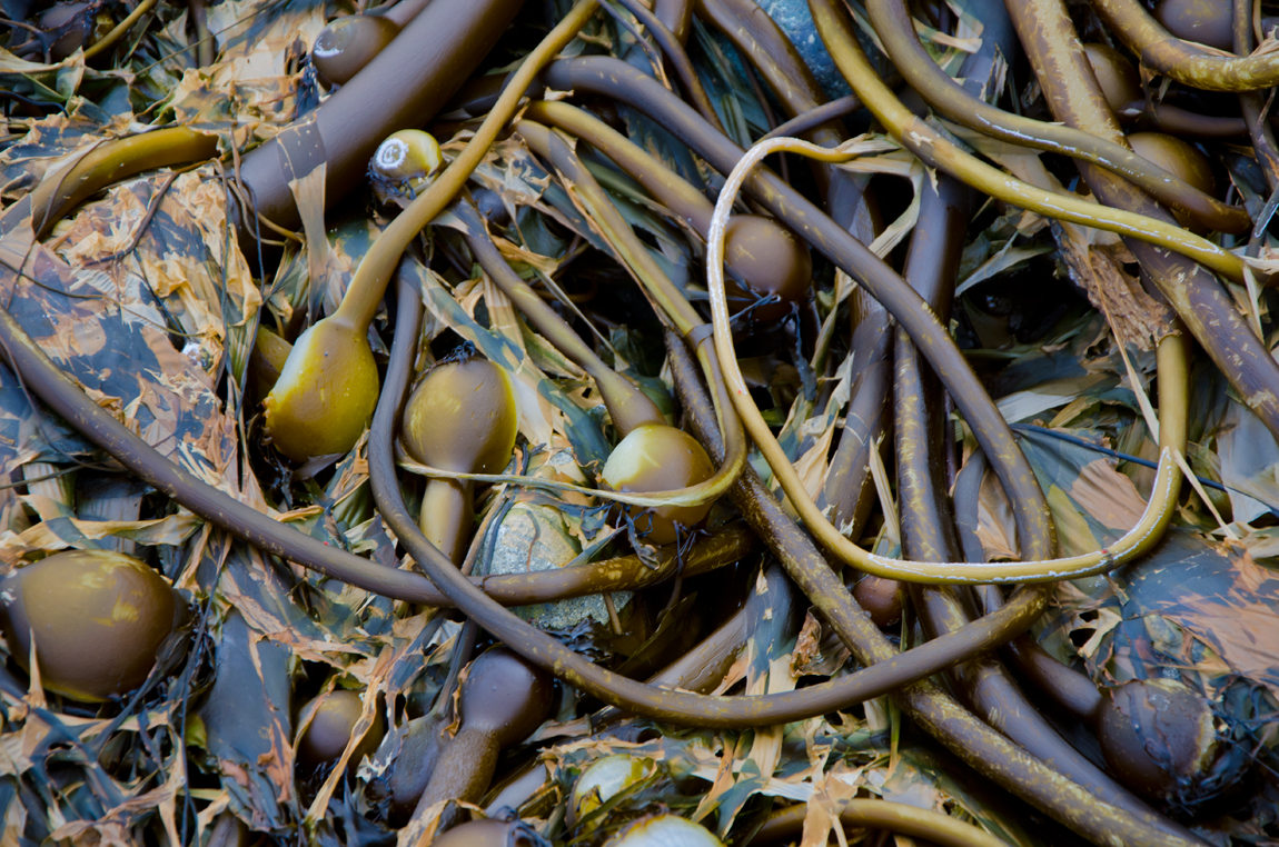 Ball Kelp, Haida Gwaii